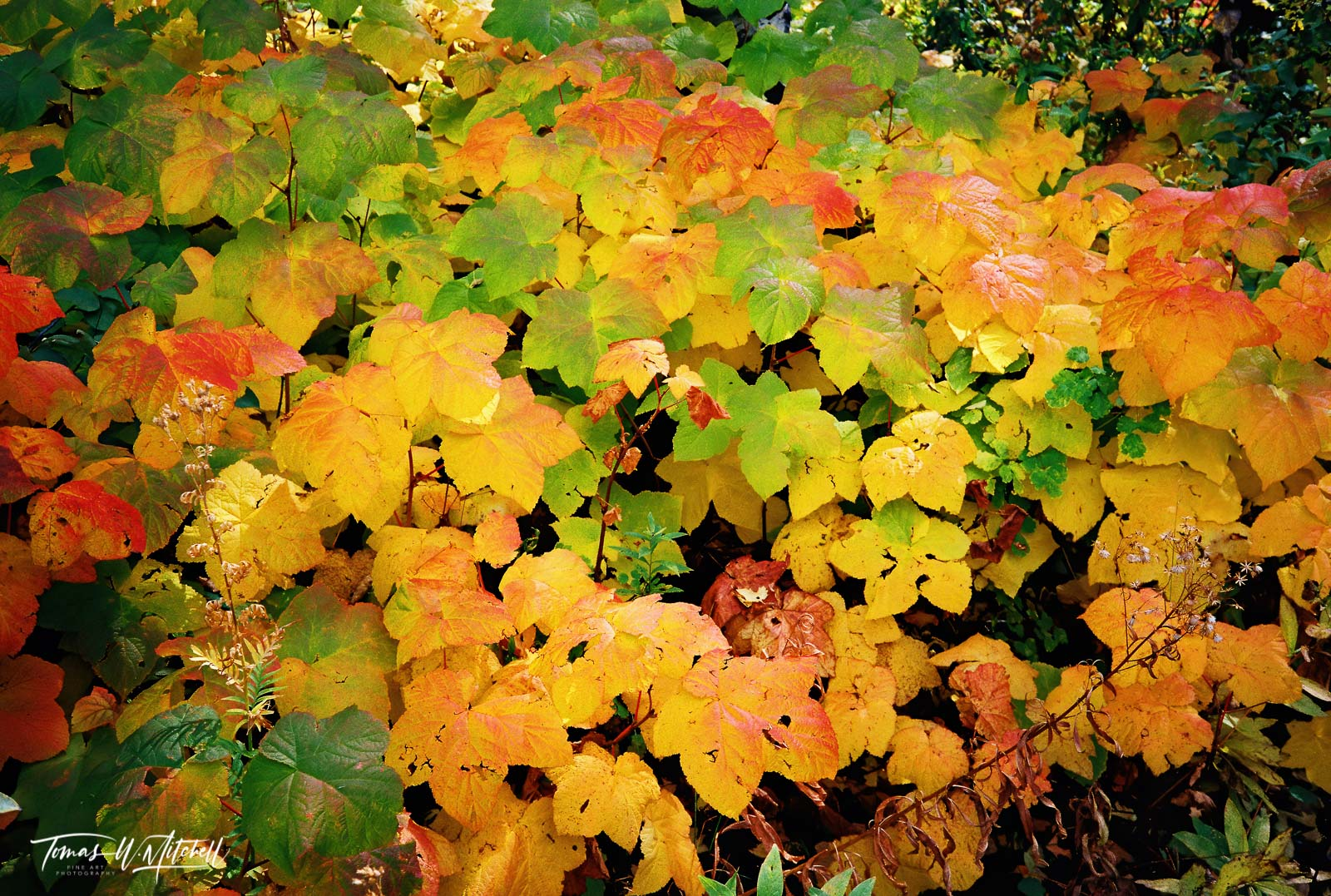 limited edition, fine art, prints, photograph, film, alaska, photographing, seward, portage, devil's club, fall, colors, yellow, green, reds, leaves, photo