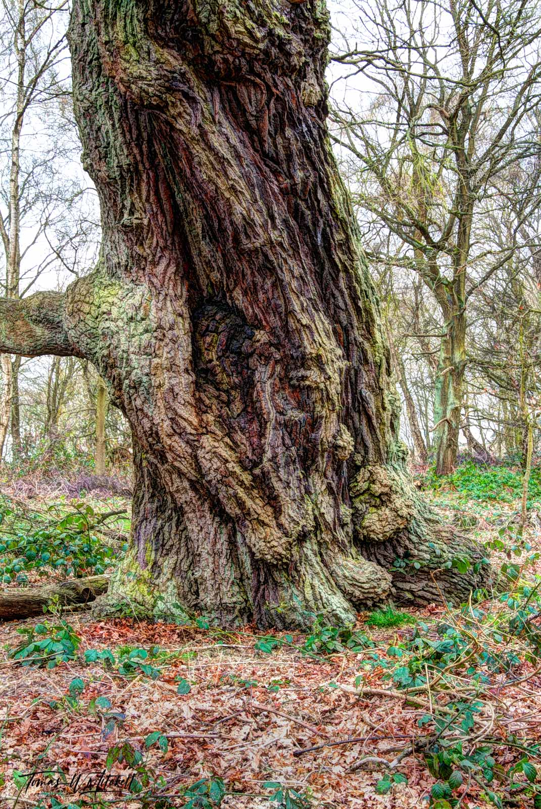 limited edition, fine art, prints, museum grade, photograph, ent, sherwood forest, england, forest, trees, roots, seasons, old tree, tree, nottinghamshire, woodland, heath, ancient, magic, ents, fanta, photo