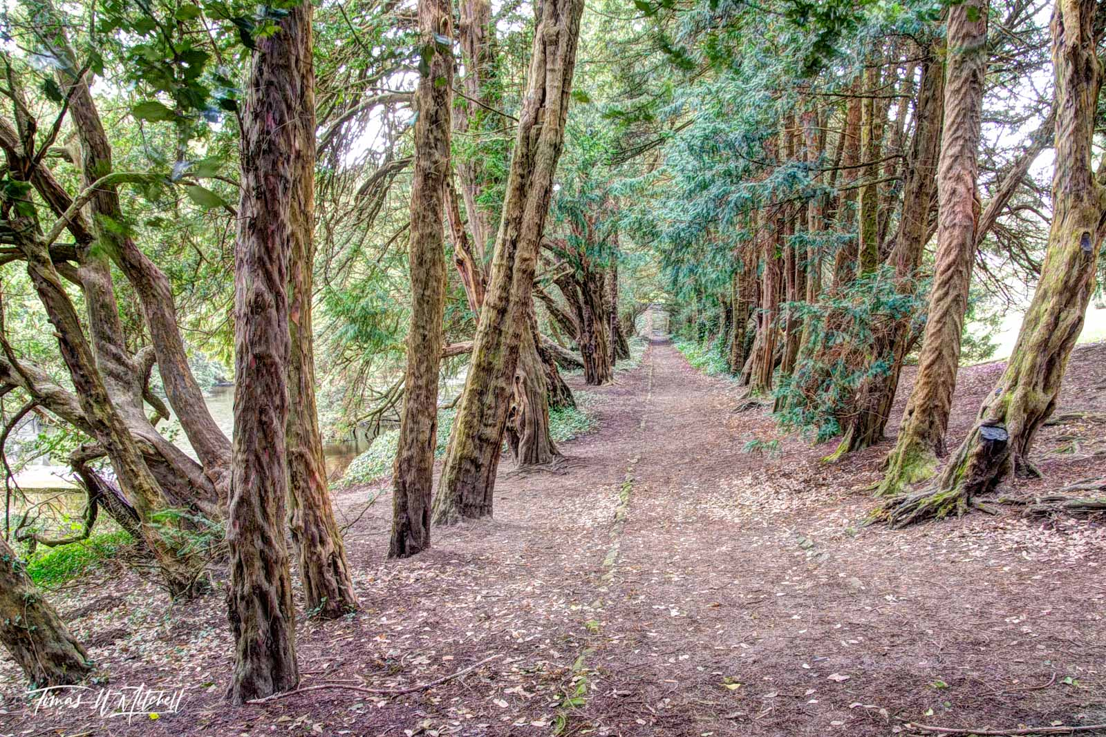 limited edition, museum grade, fine art, prints, ent, path, derbyshire, england, hardwick hall, trees, wisdom, ancient, earth, J.R.R. Tolkien, ents, shepherds, forests, moss, photograph, forest, gnarl, photo