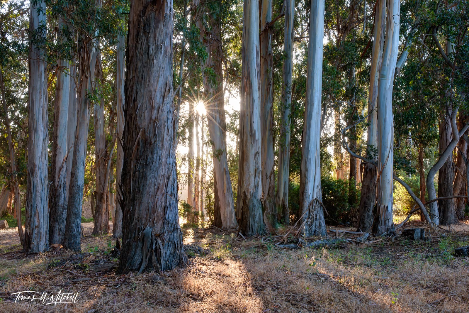 Limited Edition of 50 Museum Grade, Fine Art Prints. This photograph is part of my Eucalyptus Dawn Series of images taken on...
