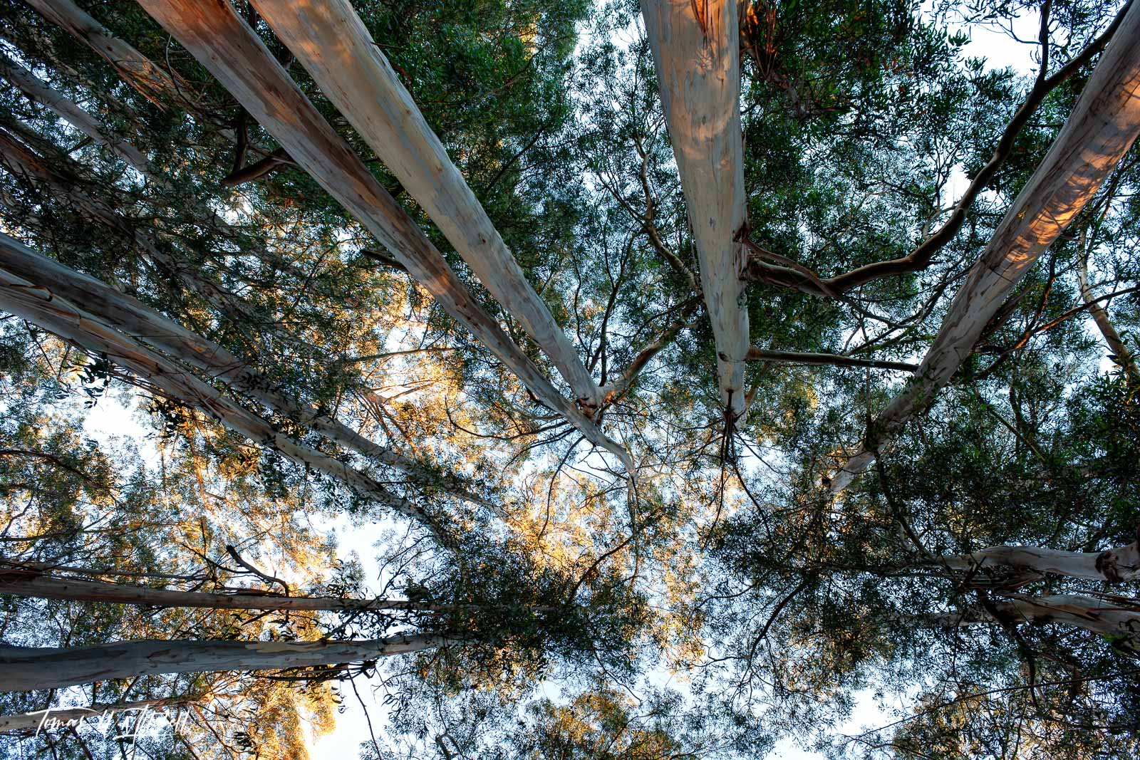 limited edition, fine art prints, trees, sky, photograph, monterey california, forest, morning, leaves, sky, eucalyptus,, photo