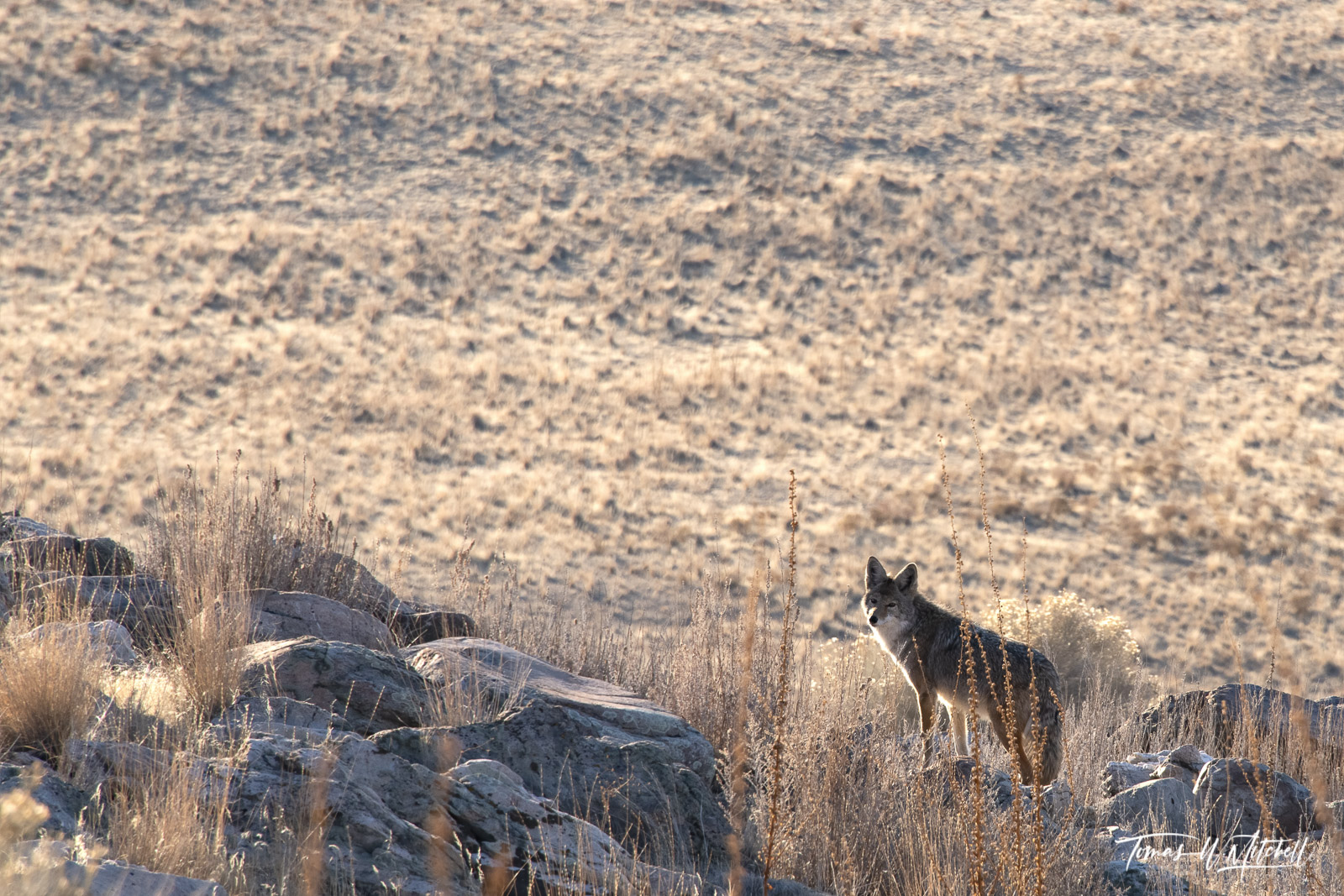 limited edition, fine art prints, antelope island state park, utah, photograph, animals, coyote, evening light, photo