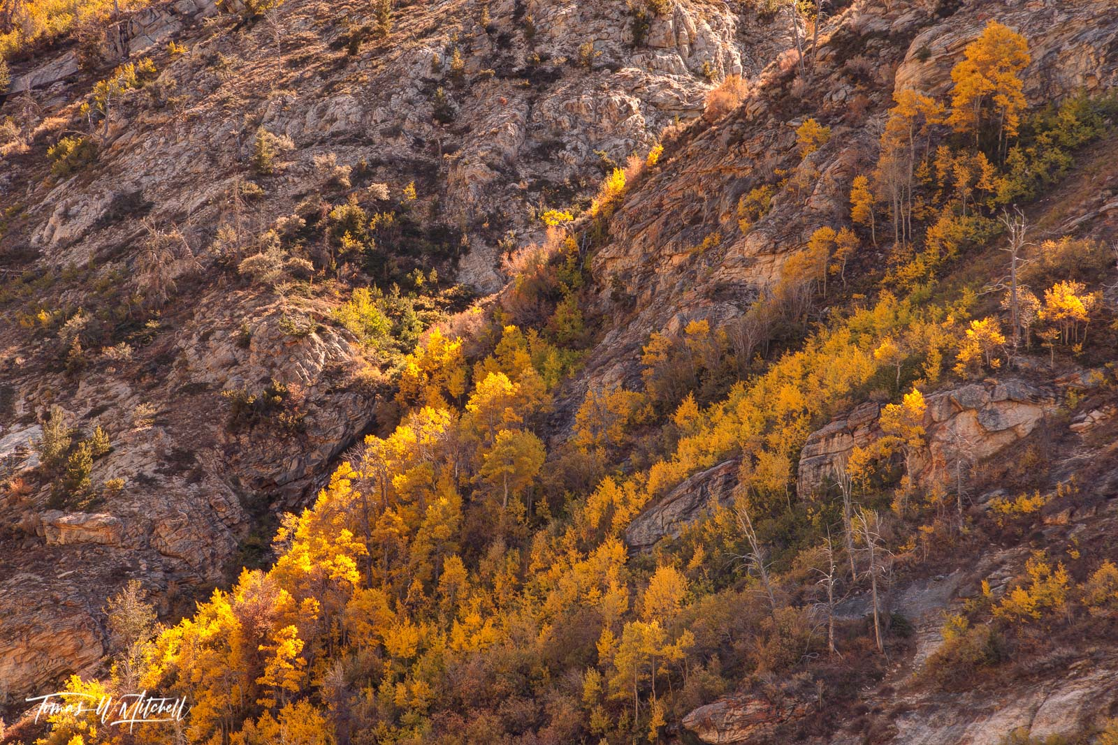 limited edition, museum grade, fine art, prints, yellow, light, quaking aspens , fall colors, mountain side, rocks, forest, trees, photo