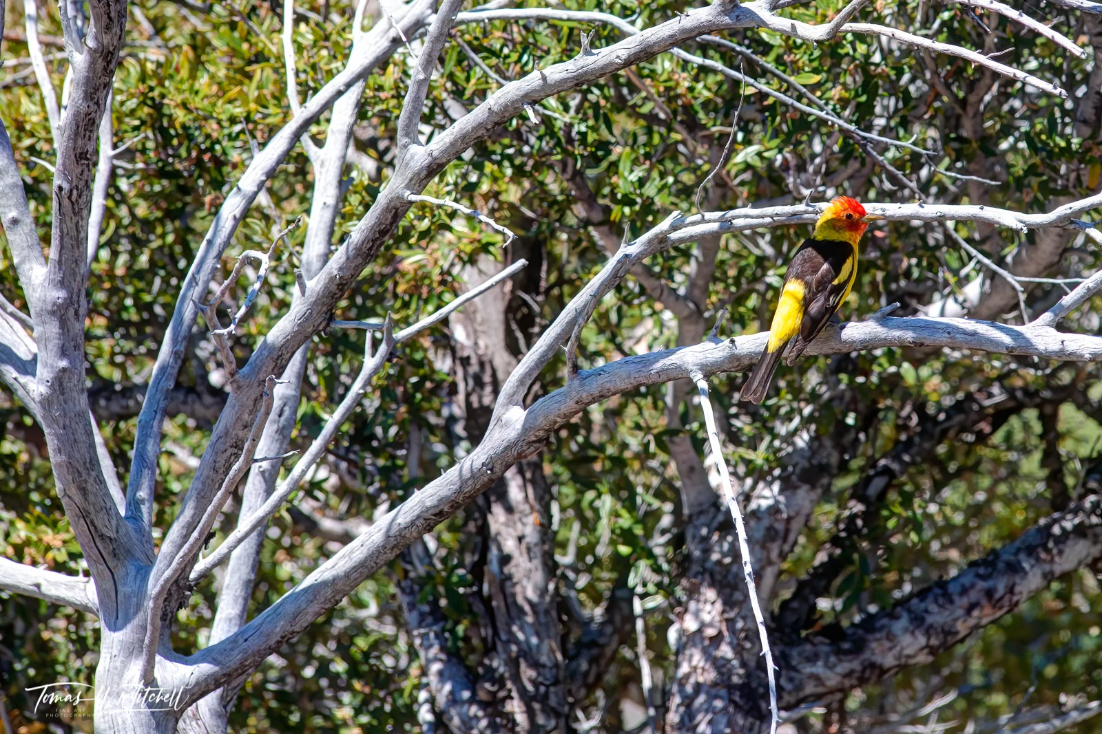 limited edition, fine art, prints, western tanager, birds, uinta, wasatch, cache, national forest, utah, forests, trees, juniper, photograph, dead branches, photo