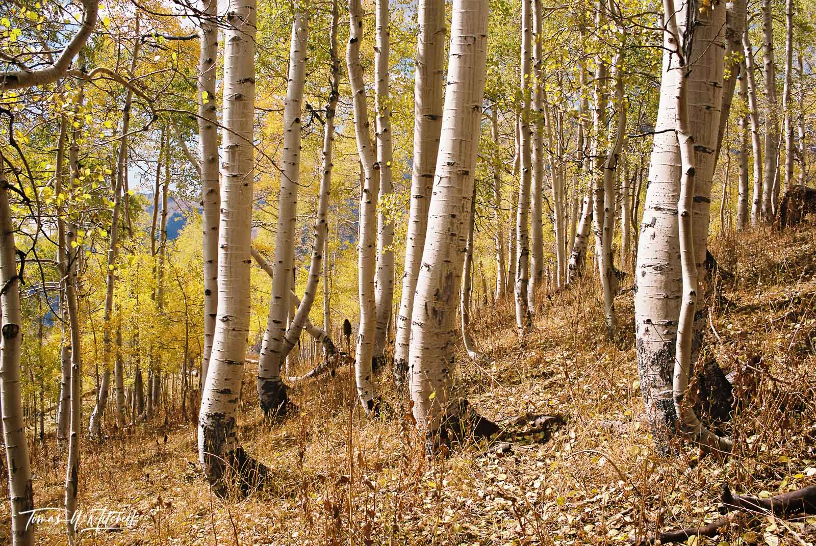 limited edition, fine art, prints, photograph, film, Nikon, forest, trees, mount nebo, trunks, golden leaves, quaking aspens, eyes, photo
