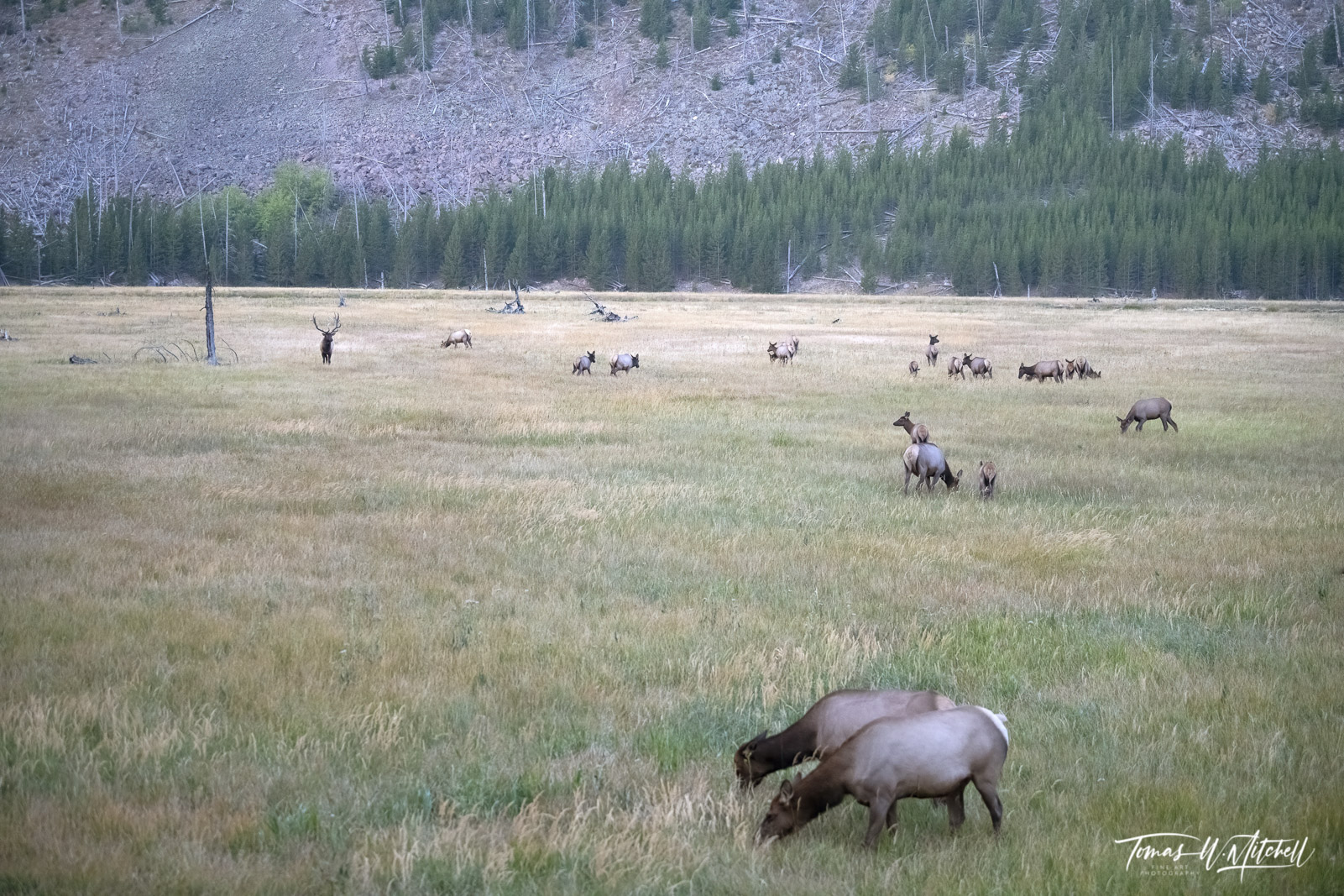 American elk herd in Yellowstone