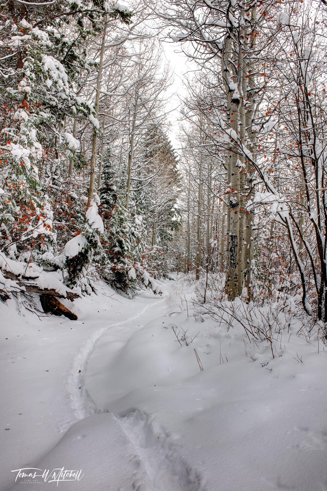 limited edition, fine art, prints, photograph, winter, UINTA-WASATCH-CACHE NATIONAL FOREST, UTAH, snowstorm, tracks, stream, leaves, red, trees, snow, forest, nature, photo