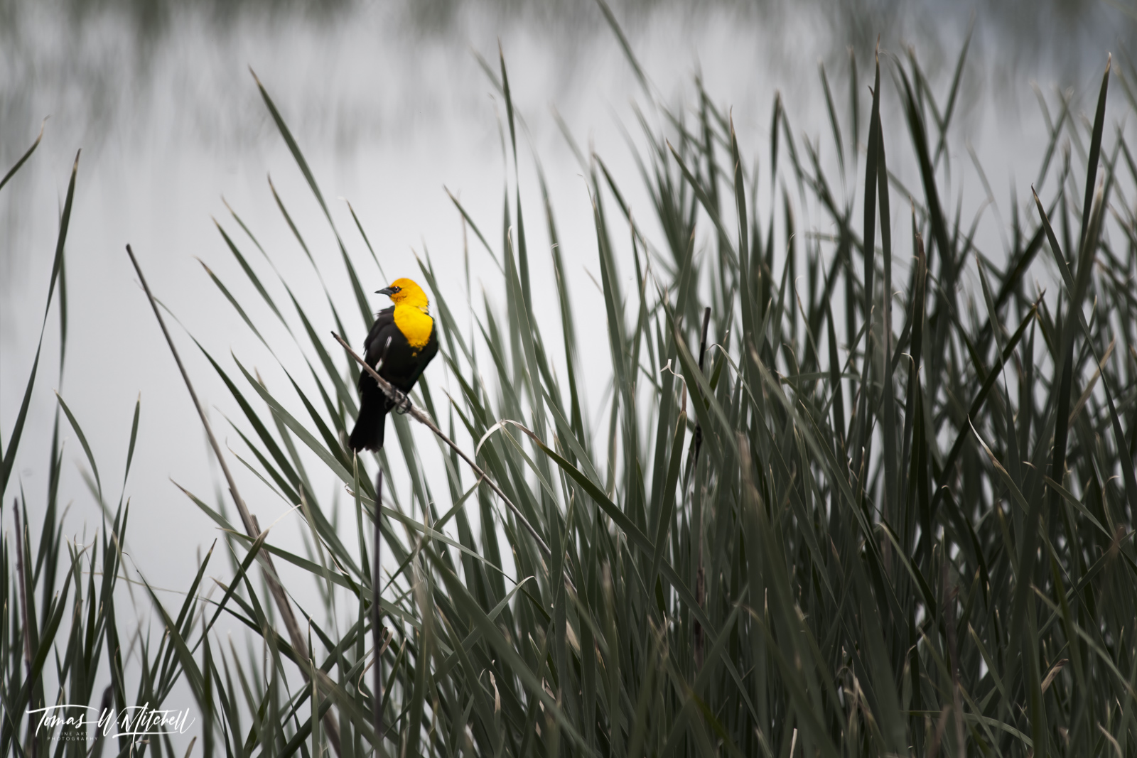 limited edition, fine art, prints, photograph, yellow-headed black bird, Xanthocephalus, birds, cattail, leaves, bear river bird refuge, utah, photo