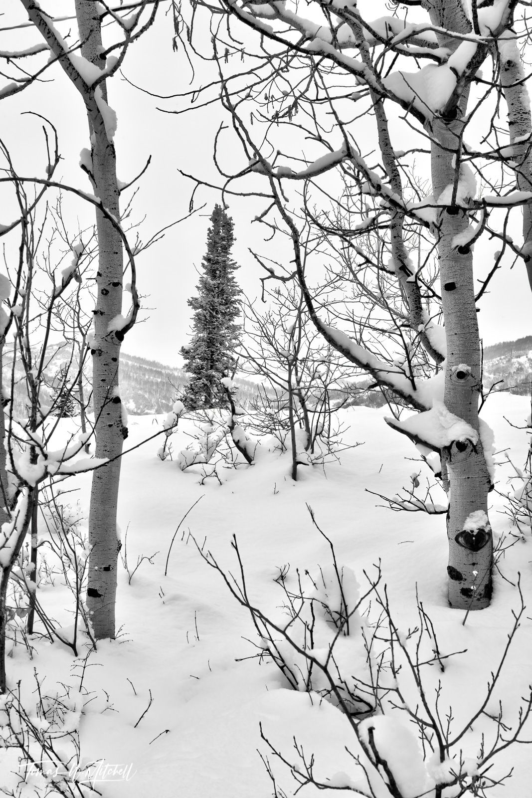UINTA-WASATCH-CACHE NATIONAL FOREST, UTAH, storm, limited edition, fine art, prints, winter, white, snow, trees, branches,, photo