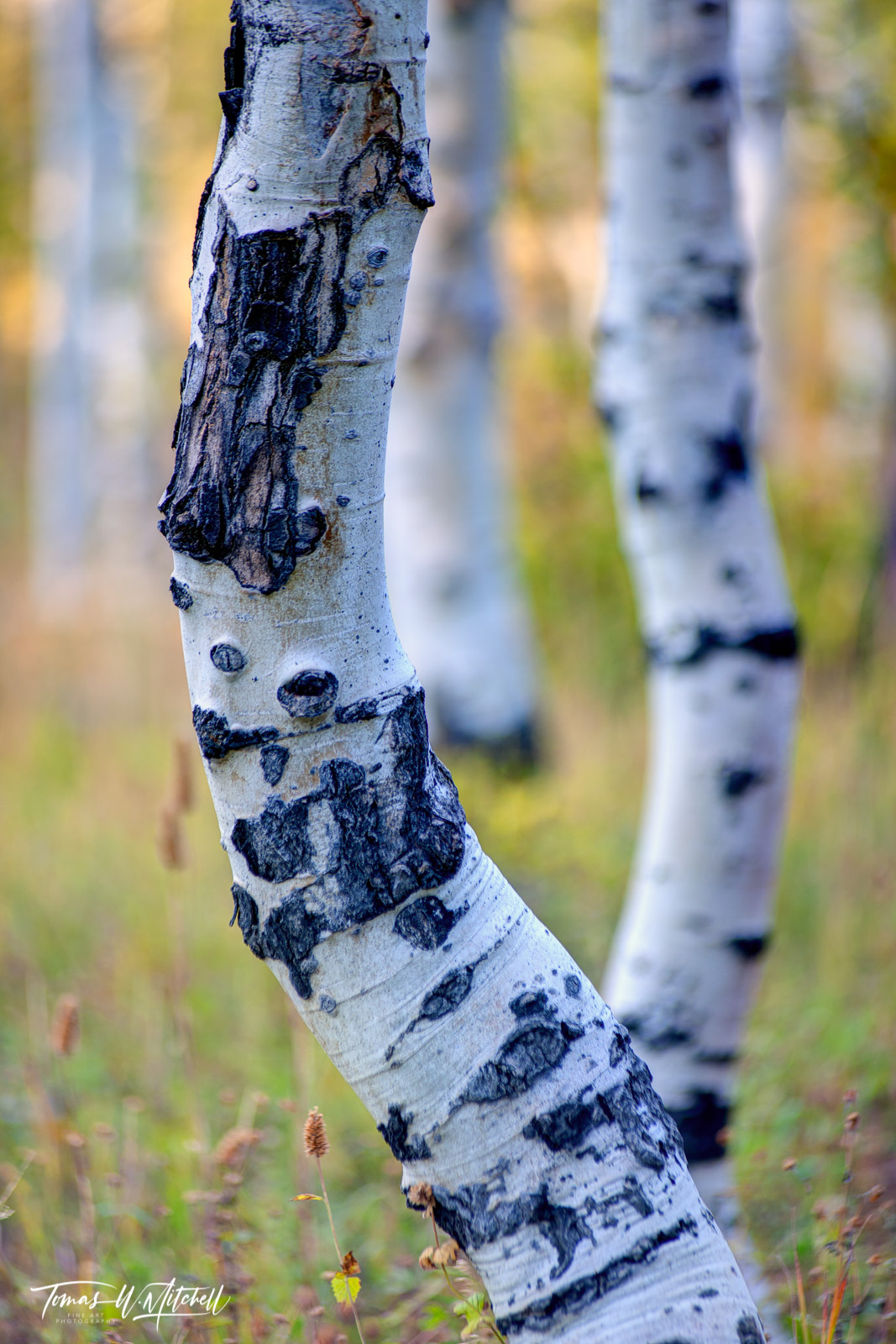 limited edition, museum grade, fine art, prints, aspen, dance, alpine loop, utah, aspen trees, photograph, fall, forest, white, aspen trunks, photo