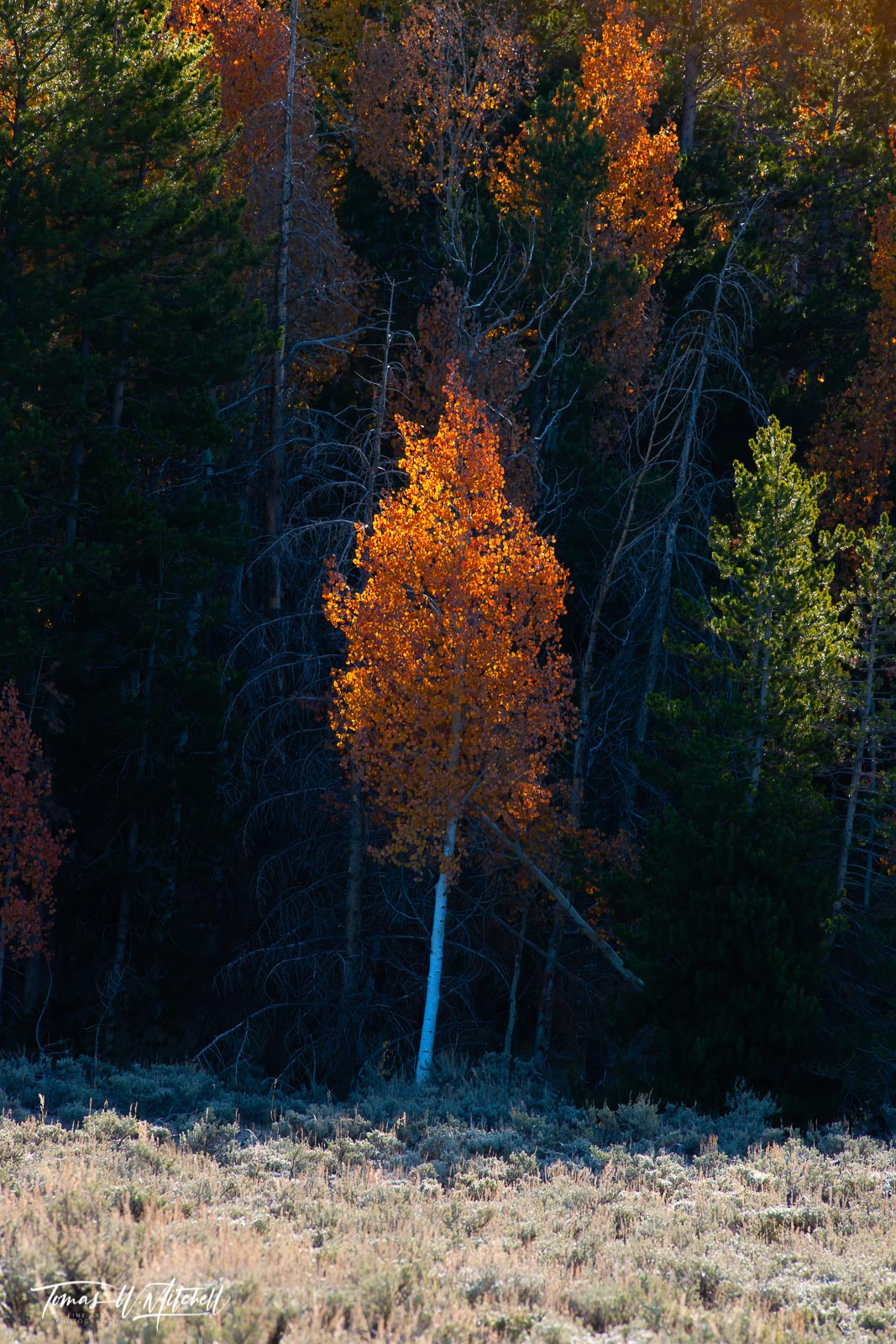 limited edition, museum grade, fine art, prints, quaking aspens, tree, forest, utah, light, yellow, orange, red, photograph, contrast, aspen, fall, autumn, photo