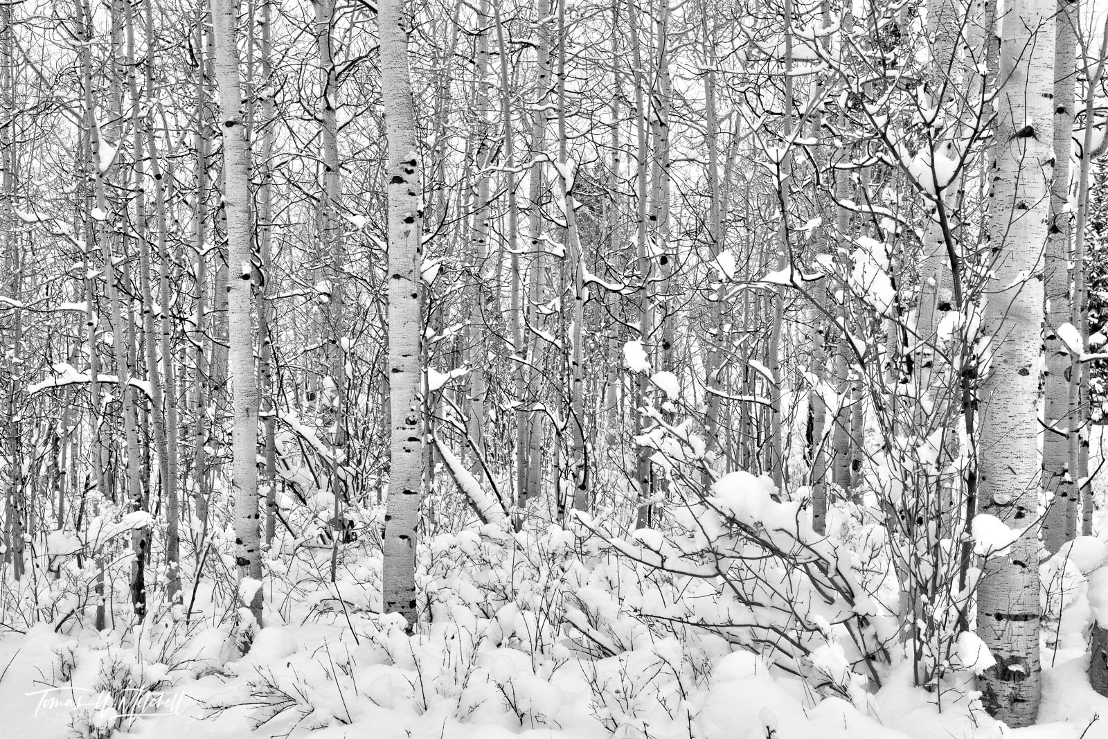 UINTA-WASATCH-CACHE NATIONAL FOREST, UTAH, aspen trees, winter, storms, white, photo