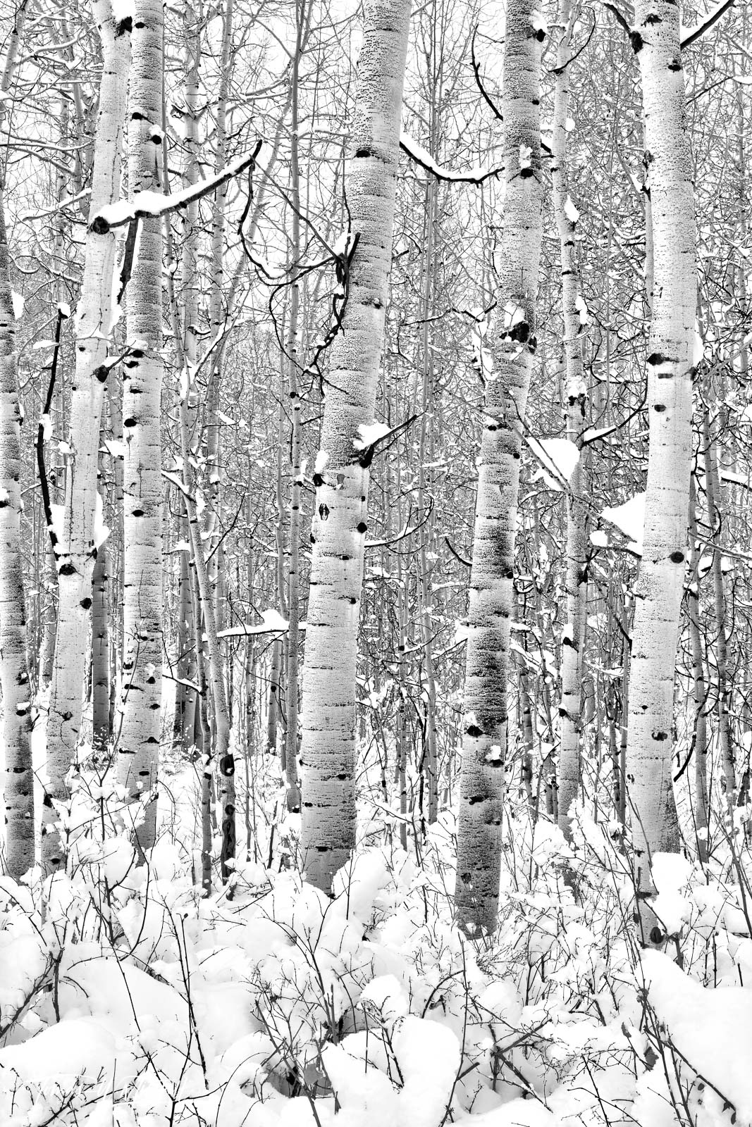UINTA-WASATCH-CACHE NATIONAL FOREST, UTAH, aspen trees, winter, forest, snow, white, photo