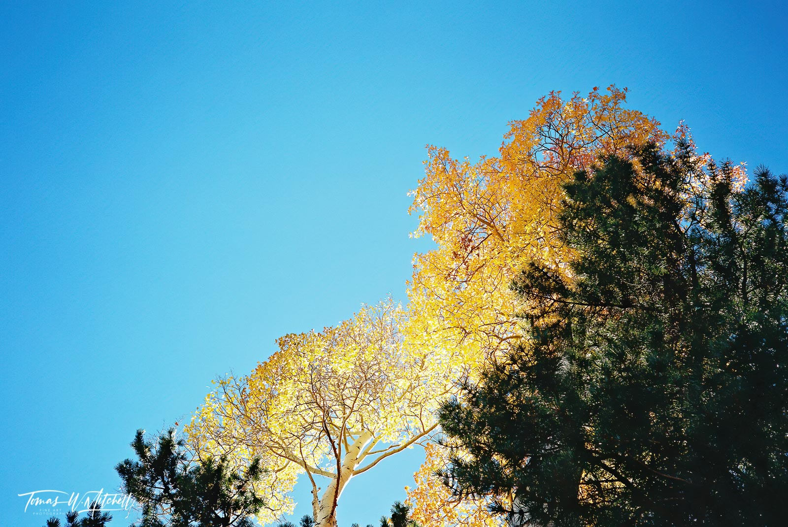 limited edition, fine art, prints photograph, film, utah, wasatch cache national forest, uinta mountains, pentax, colors, contrast, blue sky, quaking aspen, pine tree, blue, yellow, green,, photo