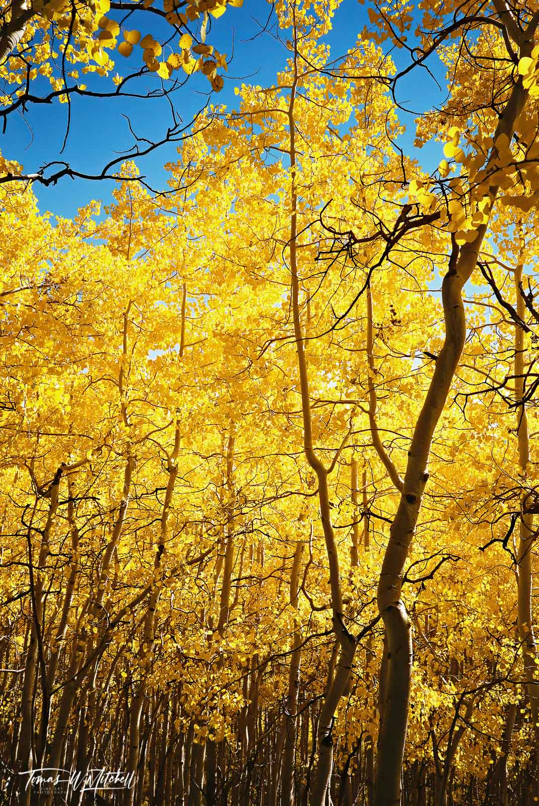 limited edition, fine art, prints, photograph, film, utah, wasatch cache national forest, forest, uinta, mountains, golden, aspen, grove, leaves, branches, blue, sky, pentax, photo