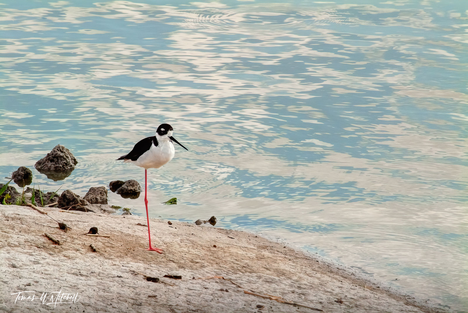 limited edition, fine art, prints, black-necked stilt, bear river bird refuge, utah, photographs, birds, wading birds, photograph, clouds, reflecting, water, photo