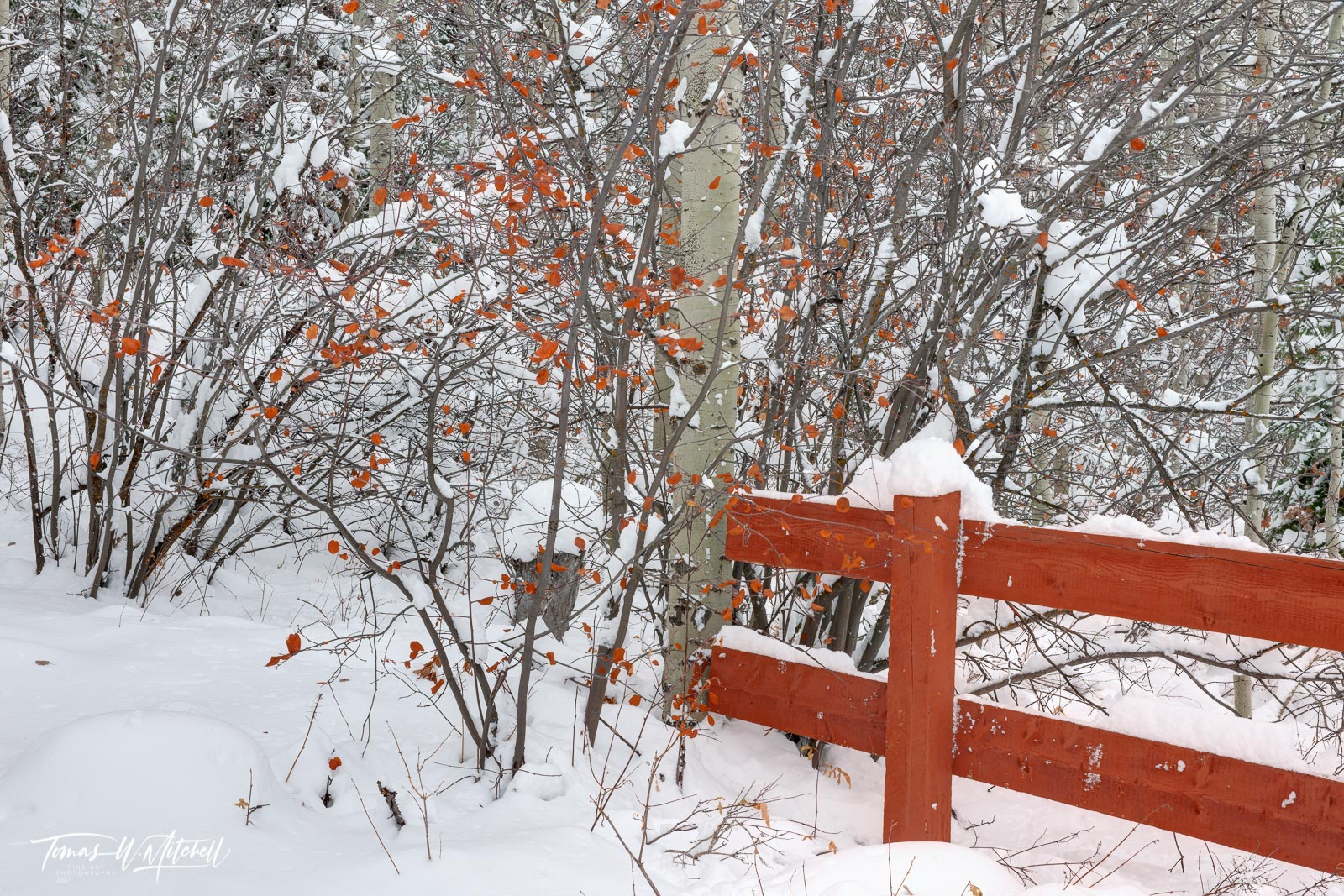 limited edition, fine art, prints, winter, snow storm, photography, fall, leaves, trees, choke cherry, bush, red, fence, , photo