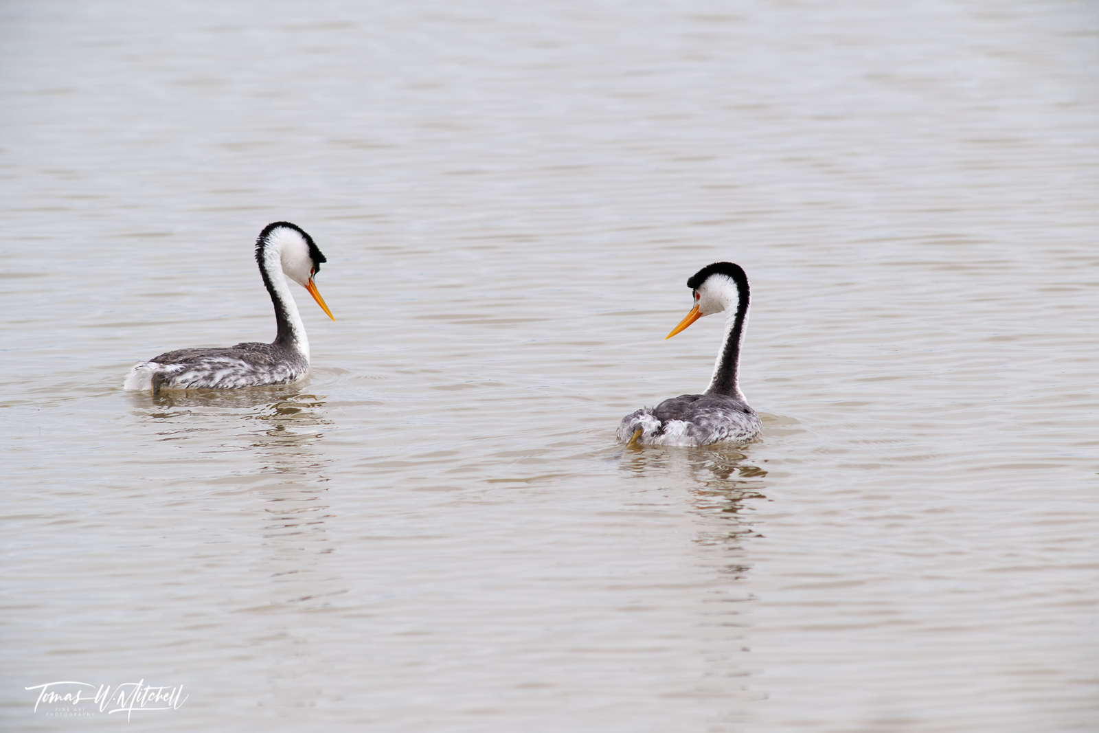 limited edition, fine art prints, photograph, clarks grebes, bear river bird refuge, utah, birds, water, photo