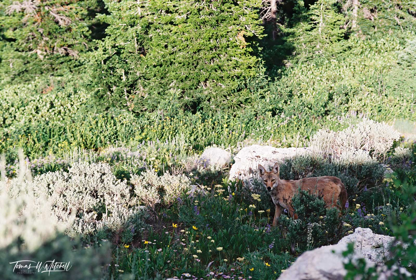 limited edition, fine art, prints, film, photograph, coyote, wasatch mountains, utah, wildlife, nikon, dog, wildlife, , photo