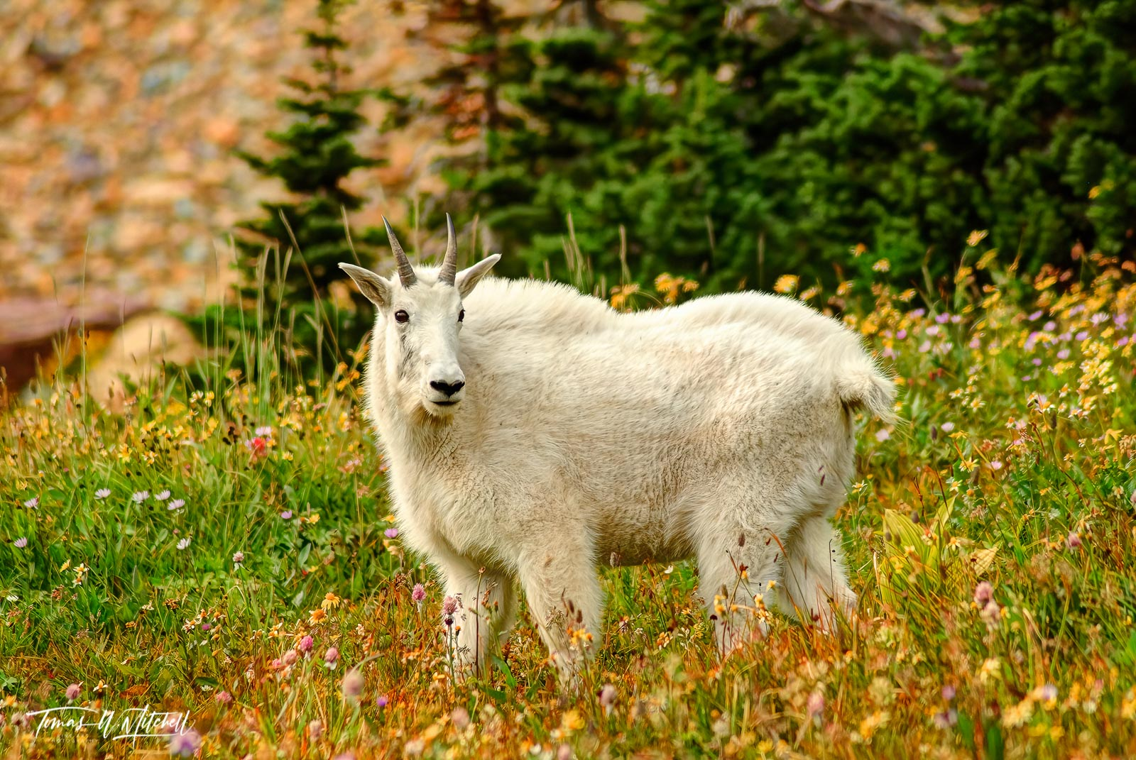 Limited Edition of 50 Museum Grade, Fine Art Prints. I was watching a heard of mountain goats in Glacier National Park MT when...