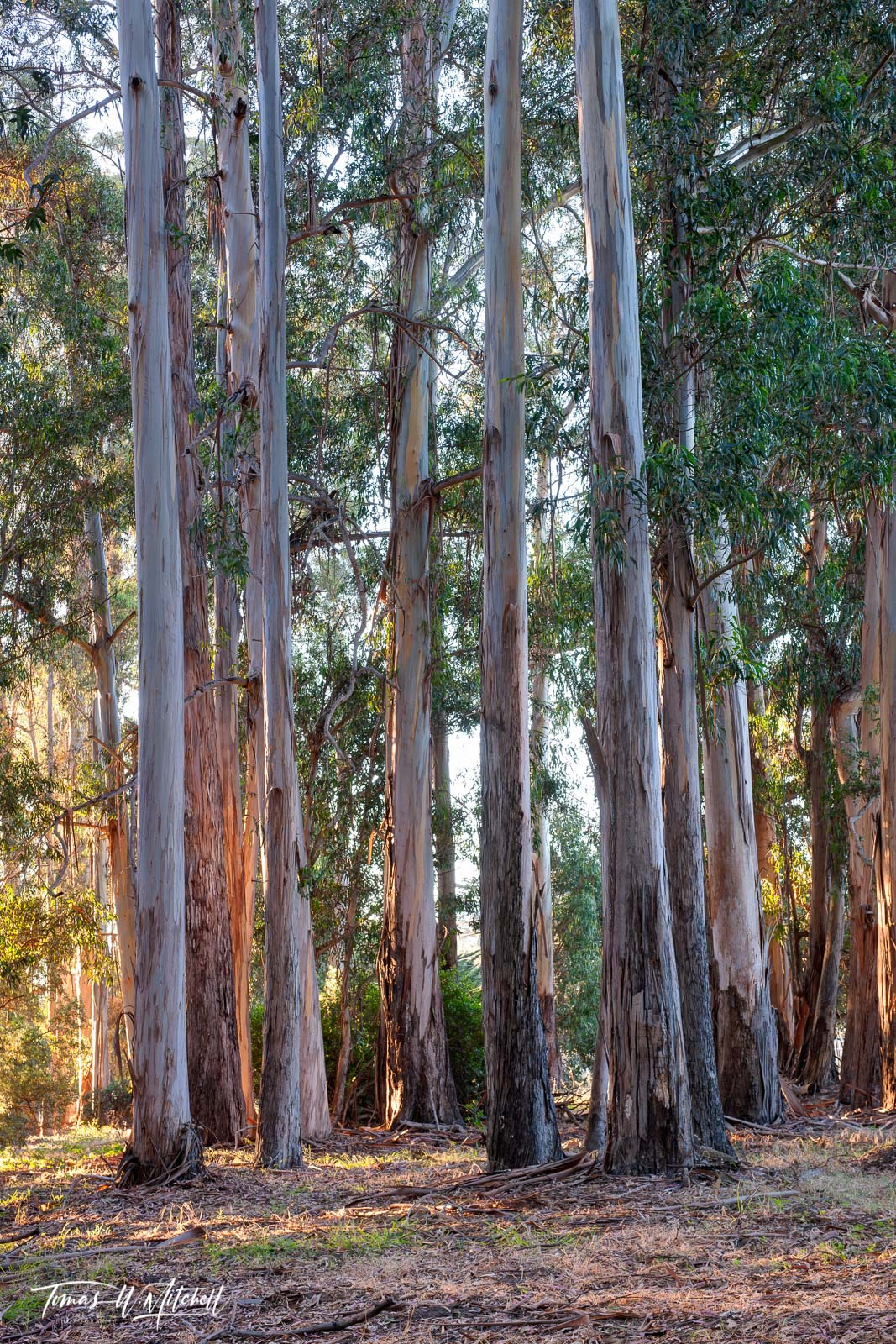 limited edition, fine art prints, eucalyptus, forests, monterey, california, del monte avenue, sunrise, trees, photo