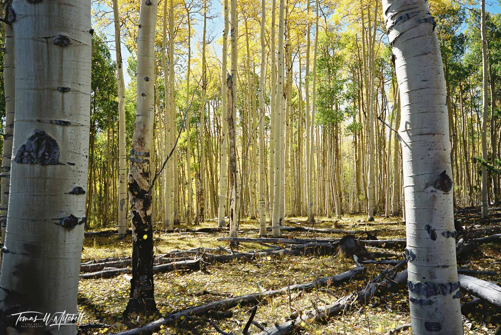 fine art, limited edition, prints, film, photograph, forest, golden, yellow, trees, aspens, leaves,  quaking aspen, falling, utah, wasatch cache nation forest, photo