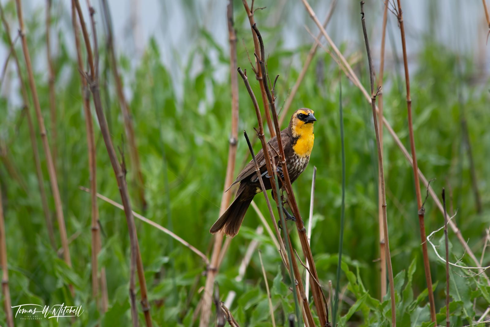 limited edition, fine art prints, xanthocephalus, yellow-headed black bird, female, yellow, photograph, bear river bird refuge, utah, photo