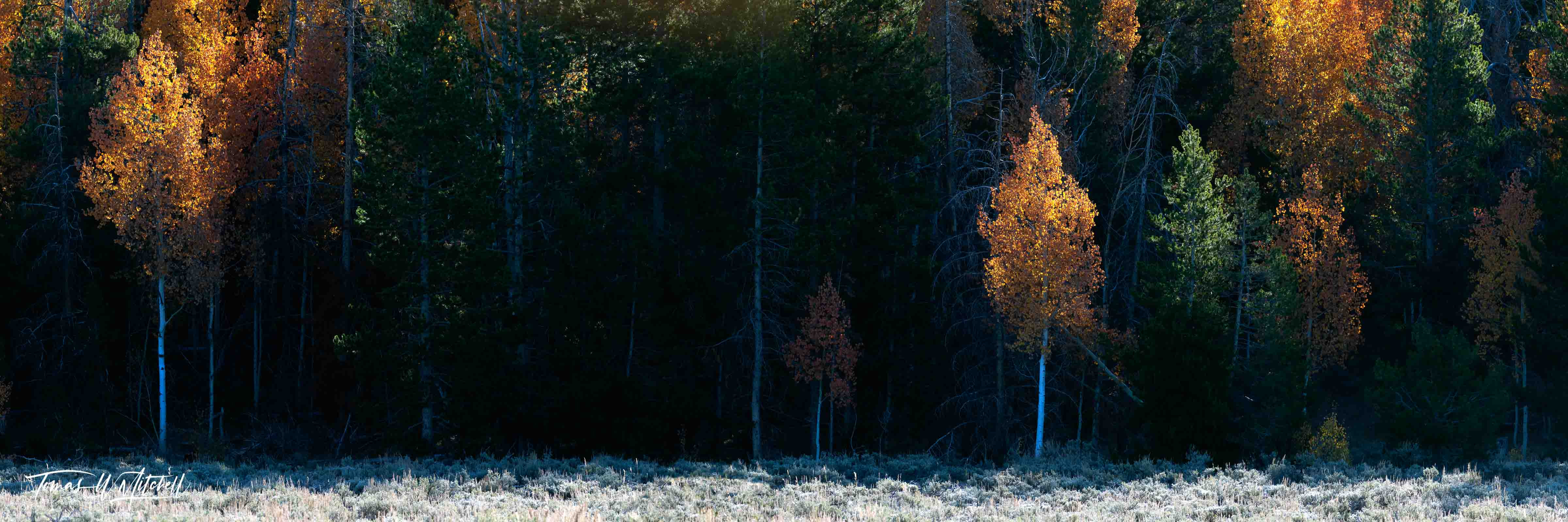 limited edition, museum grade, fine art, prints, forests, utah, national forests, mysterious, backlite, aspen trees, beacons, fall, morning, photo