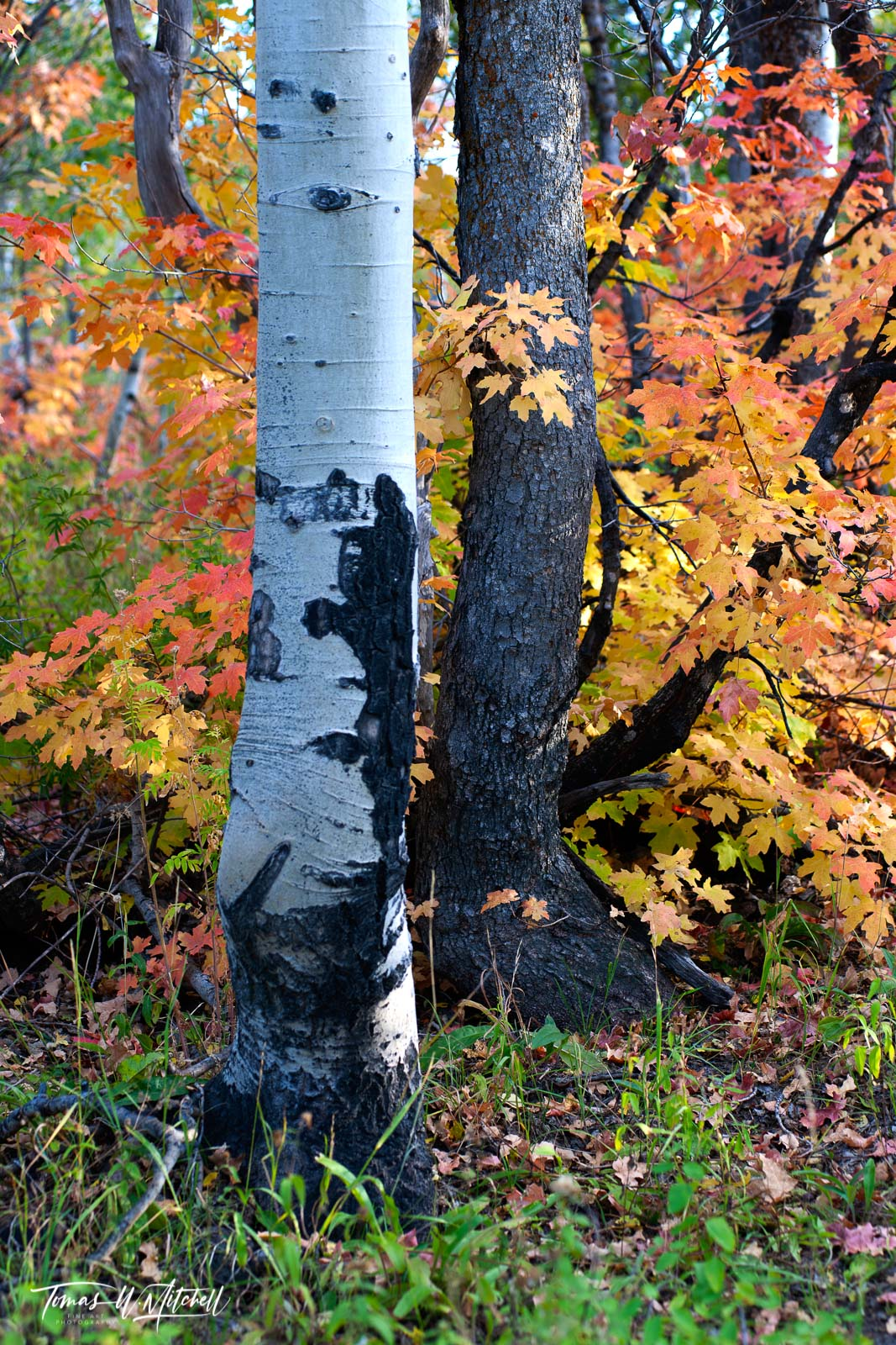 limited edition, museum grade, fine art, prints, forest, alpine loop, utah, tree, red, yellow, orange, maple, branch, amber, leaves, autumn, photo