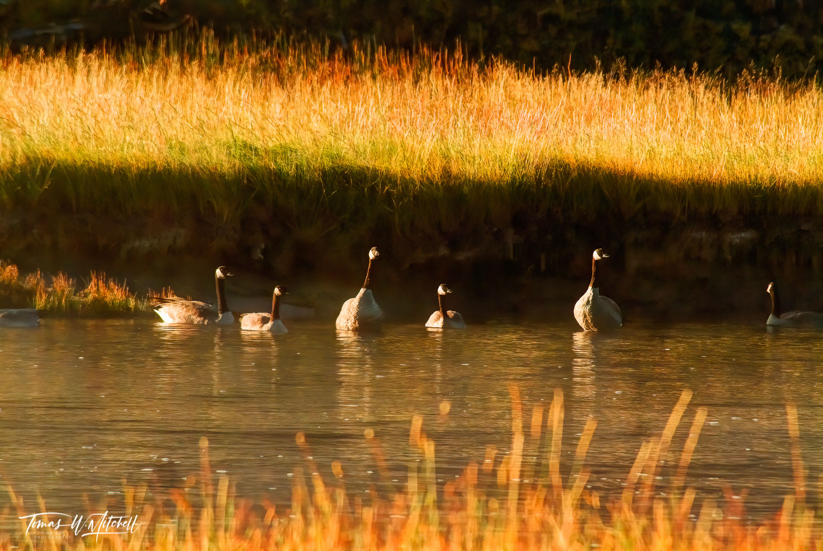 limited edition, fine art, prints, yellowstone national park, goose, morning, geese, grase, yellow, sun, photograph, madison river, photo