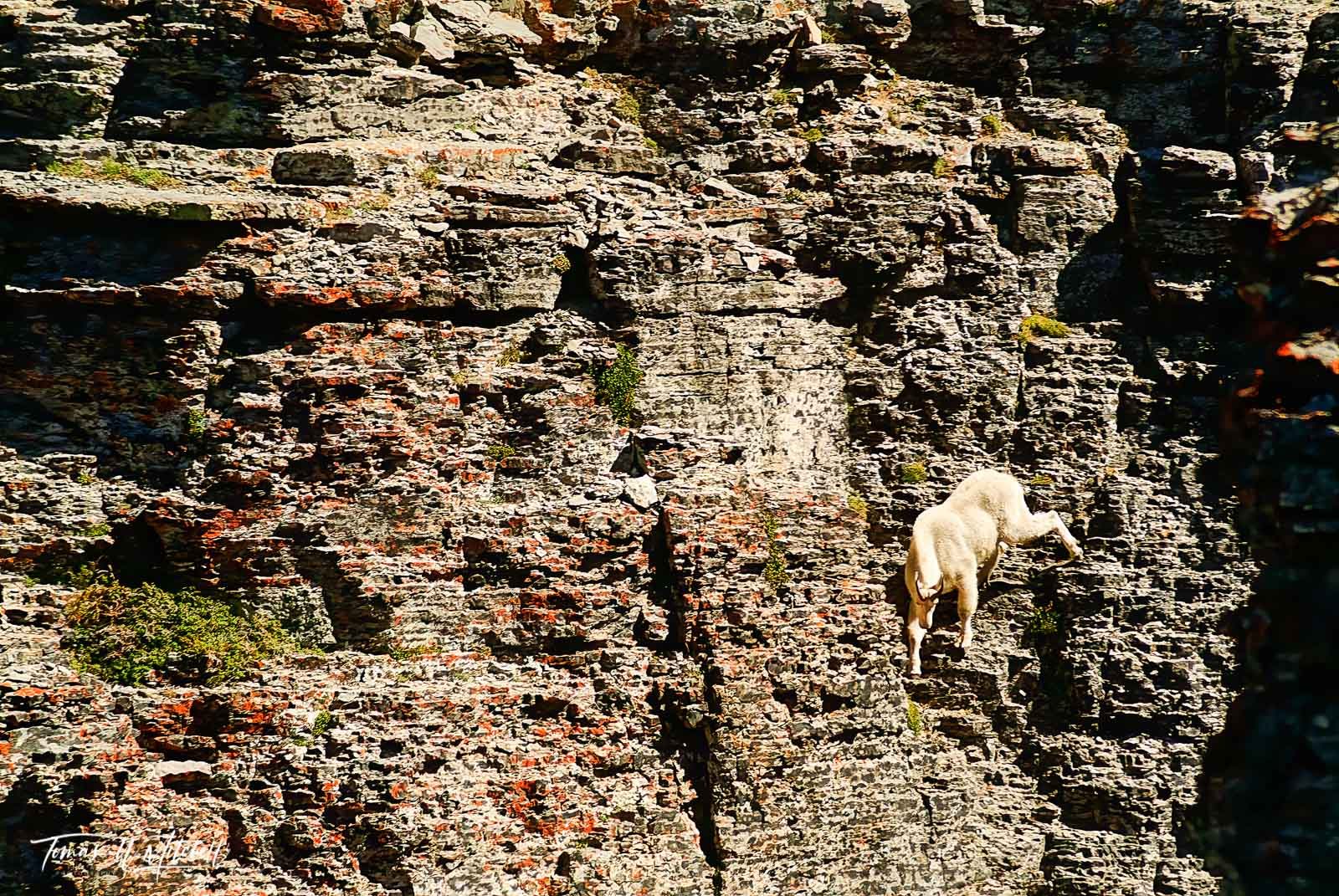 limited edition, fine art, prints, mount timpanogos, utah, mountain goat, photographing, wildlife, cliff face, , photo