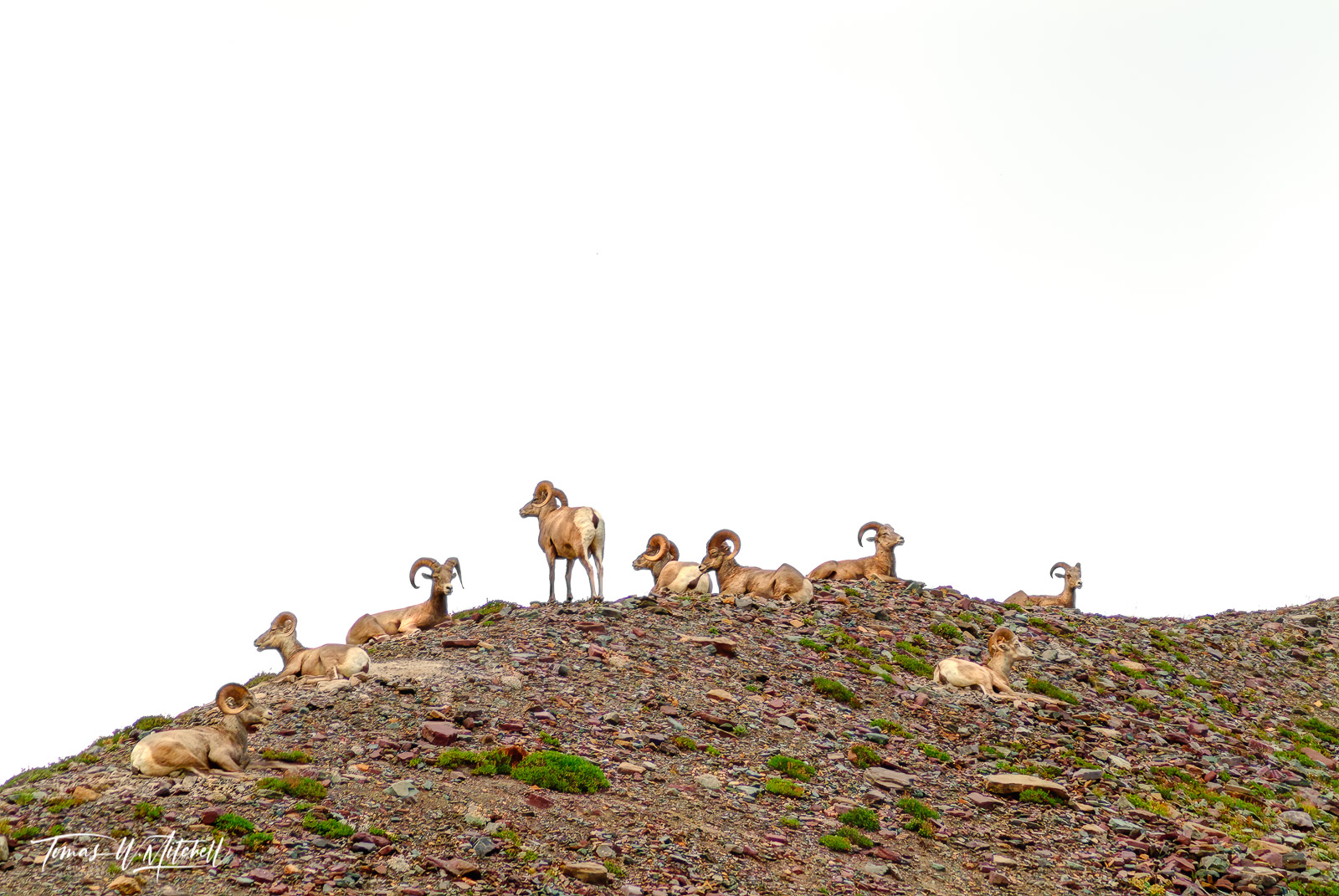 Limited Edition of 50 Museum Grade, Fine Art Prints. I was really amazed at the amount of bighorn sheep and the short hike from...