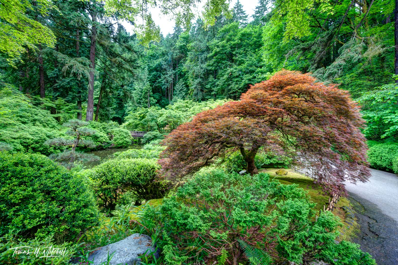 limited edition, fine art, prints, japanese garden, portland oregon, famous tree, photograph, tree of life, summer, forest, water, moon bridge, photo