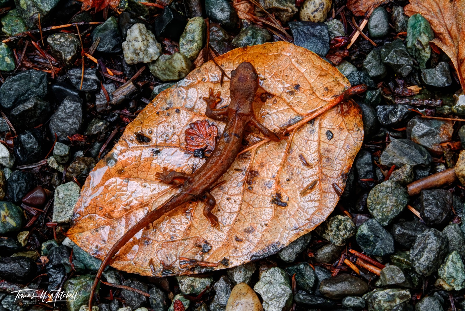 limited edition, fine art, prints, oregon, coast, newt, leaf, photograph, brown, gray, wet, photo
