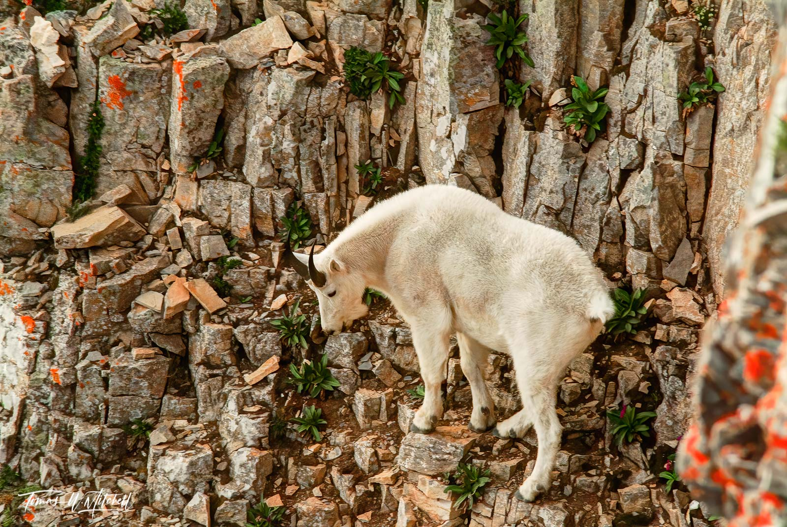 limited edition, fine art, prints, mount timpanogos, utah, mountain goat, wildlife, photographing, rock face, cliff, photograph, , photo
