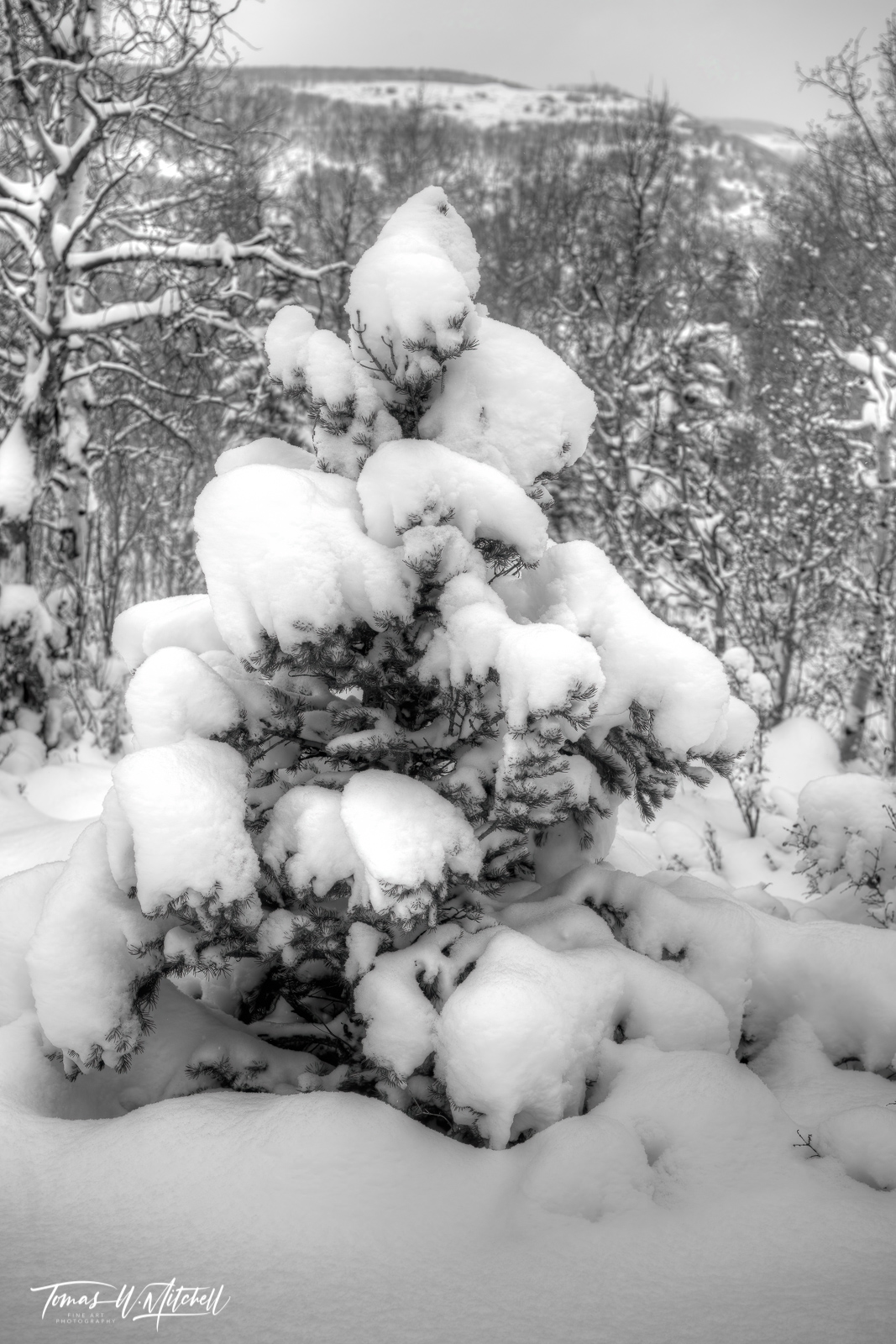 UINTA-WASATCH-CACHE NATIONAL FOREST, UTAH, limited edition, fine art, prints, snowstorm, photographing, pine, tree, powder, photograph, snow,, photo