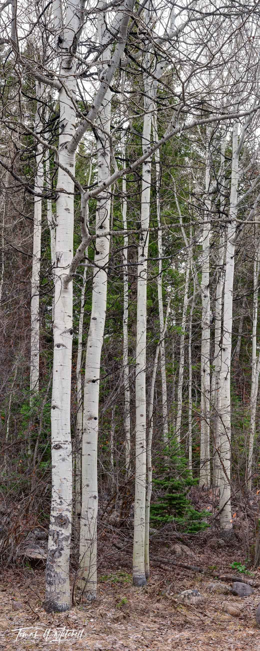 limited edition, fine art, prints, primaveral, sentinels, uinta mountains, early spring, trees, photograph, rainy day, quaking aspens, panoramic, oakley utah, photo