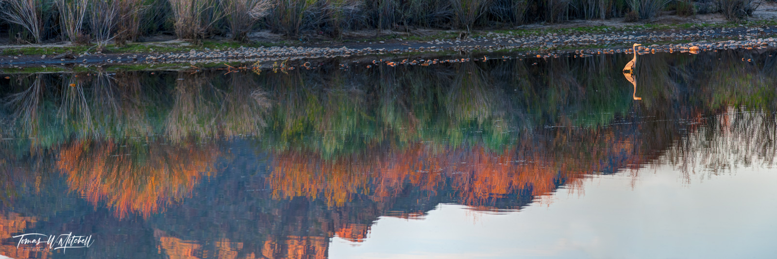 limited edition, fine art, prints, salt river, arizona, great blue heron, river, heron, photograph, reflection, red mountain, colors, bushes, panoramic, photo