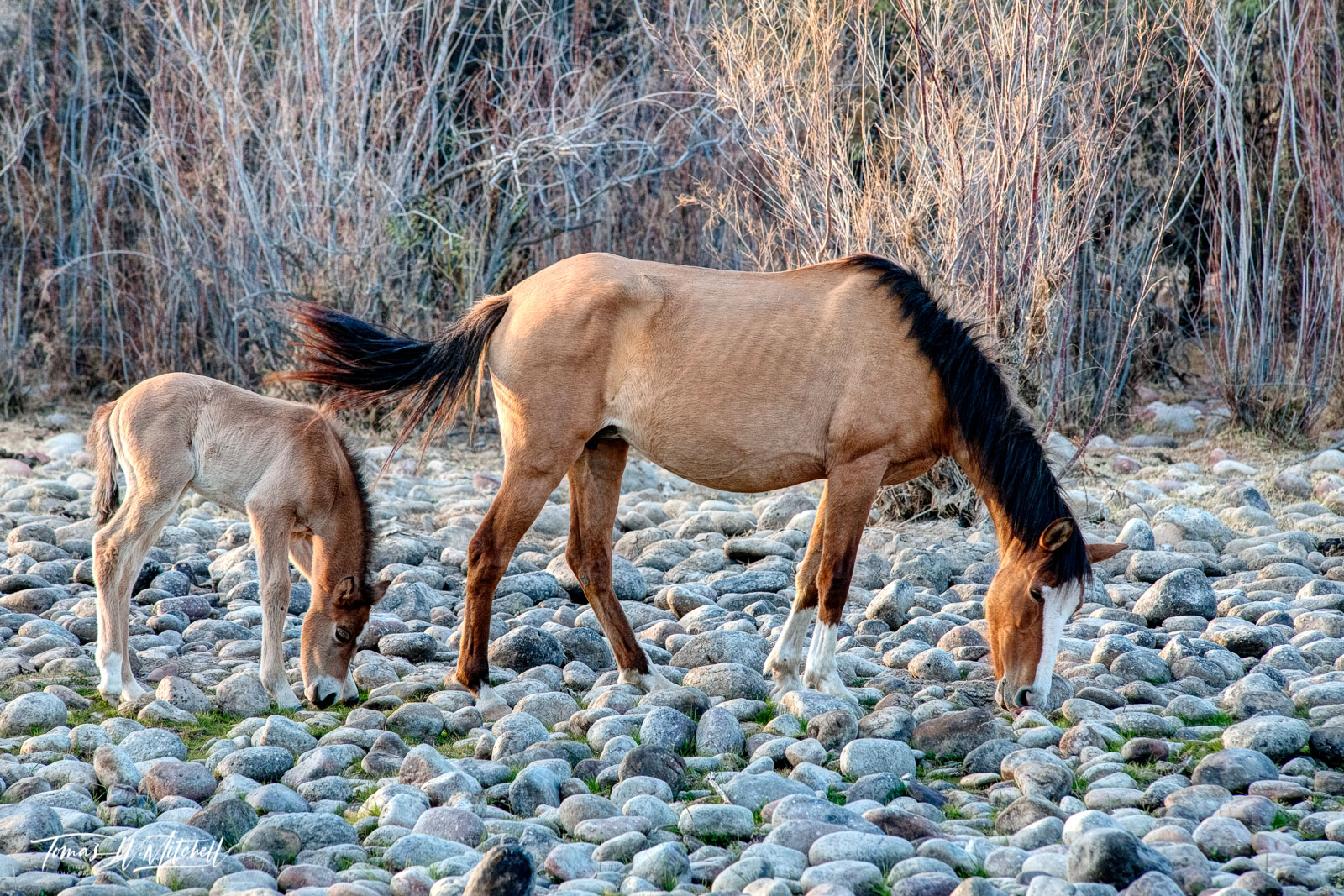 limited edition, fine art, prints, salt river, arizona, horses, mare, foal, photographing, photo