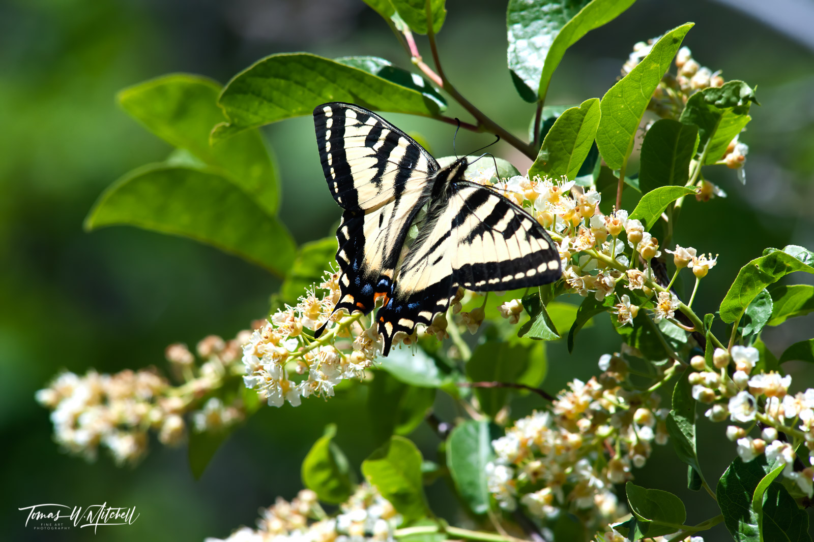 limited edition, fine art, prints, Uinta Mountains, Utah, Butterfly, Tiger Swallowtail, Choke Cherry, bush, yellow, flowers, green, leaves, photo