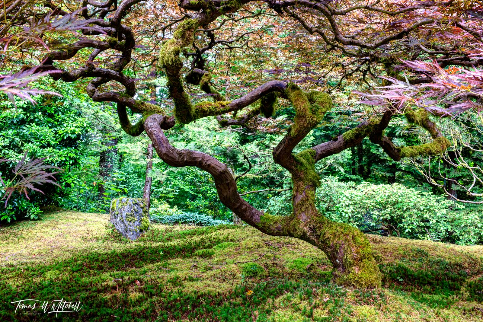 limited edition, fine art, prints, japanese garden, portland oregon, tree of love, photograph, summer, moss, green, lace leaf maples, branches, heart, photo