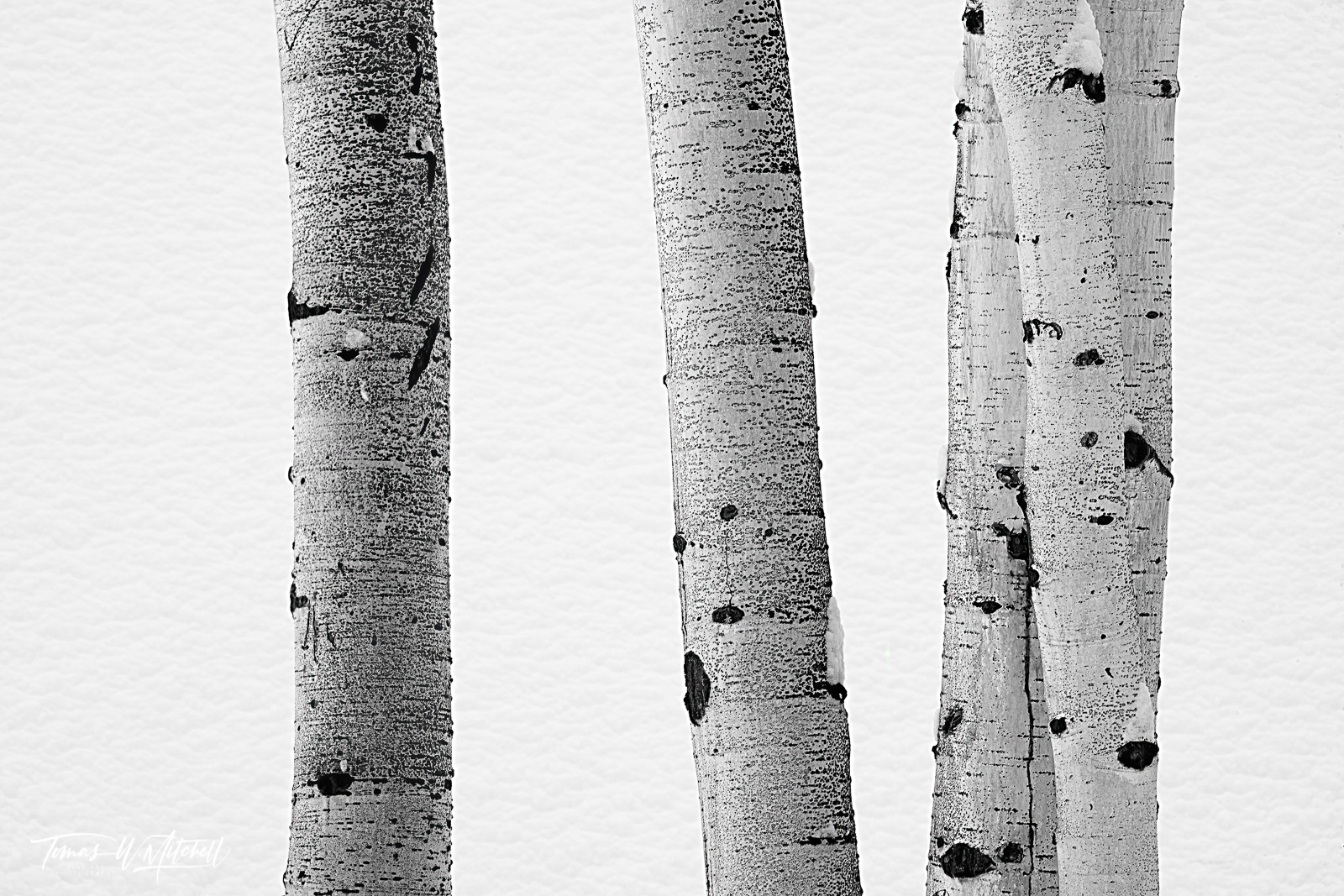 UINTA-WASATCH-CACHE NATIONAL FOREST, UTAH, limited edition, fine art, prints, tree, texture, quaking aspen, trunks, white, black, snow, winter, photograph, photo