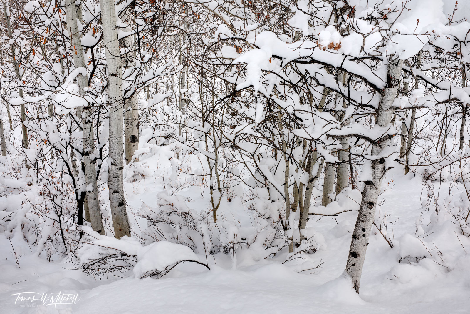 Limited Edition of 50 Museum Grade, Fine Art Prints. I love seeing trees covered in a blanket of snow, aspens are my favorite...