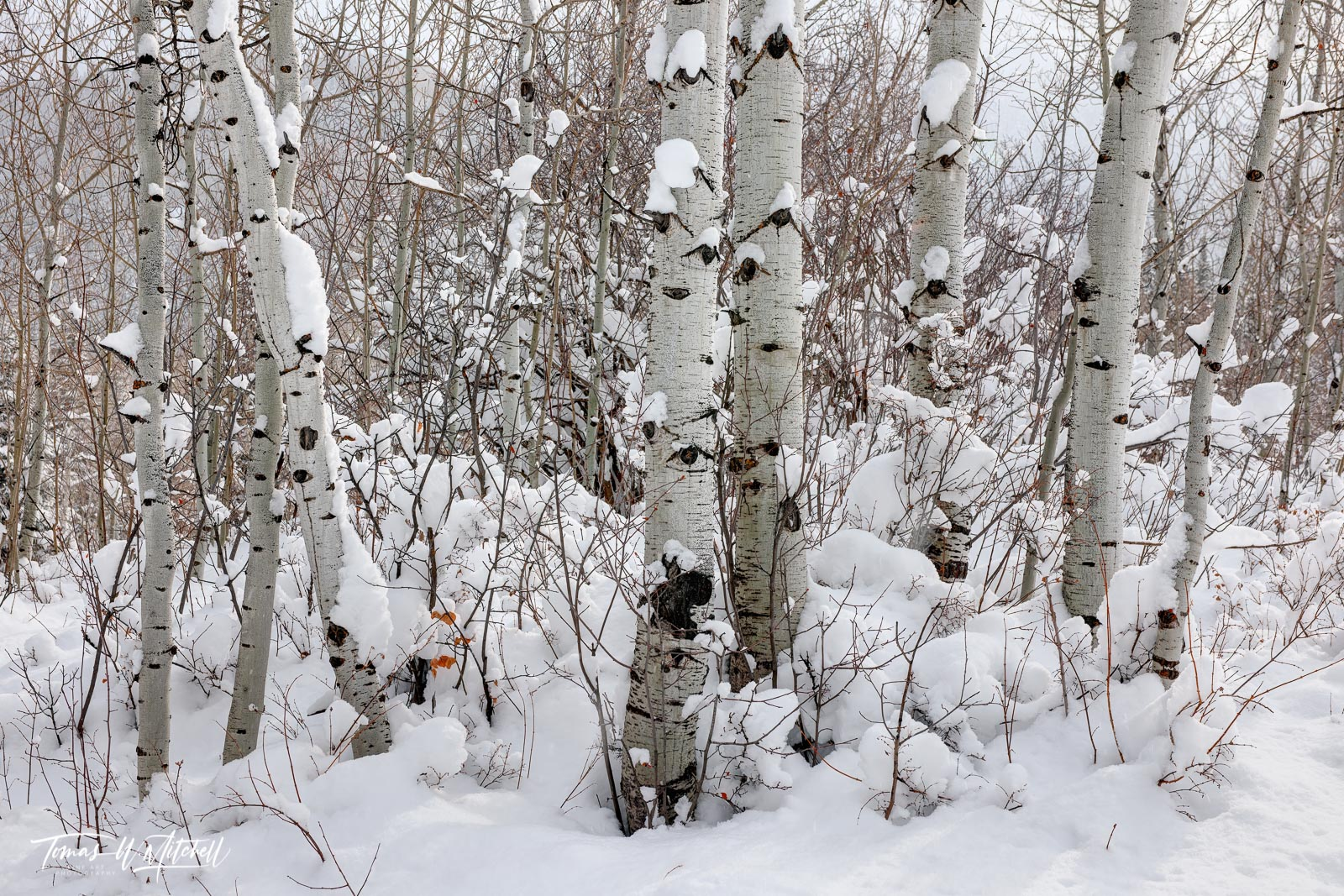UINTA-WASATCH-CACHE NATIONAL FOREST, UTAH, limited edition, fine art, prints, snow, quaking aspen, trees, wintry, forest, winter, photograph, photo