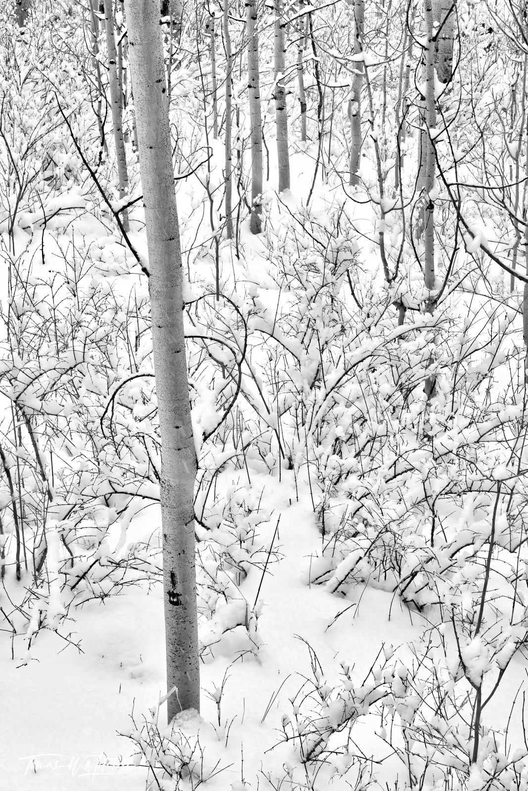UINTA-WASATCH-CACHE NATIONAL FOREST, UTAH, limited edition, fine art, prints, winter, snow, trees, photo